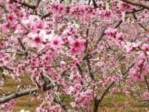 peach blossom celebration (feb)
